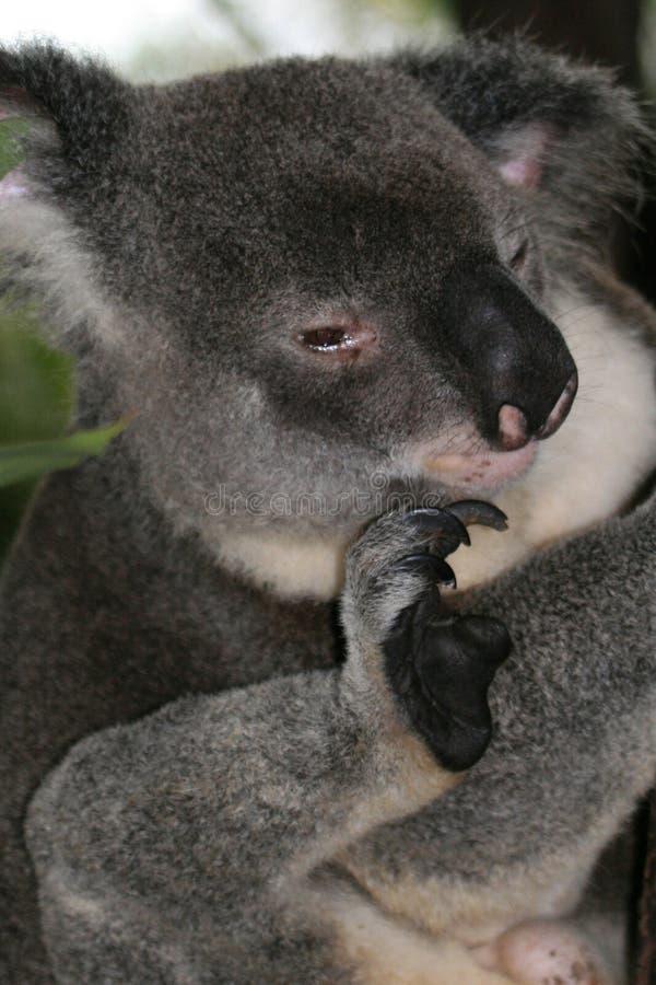 Koala, Australia immagine stock libera da diritti