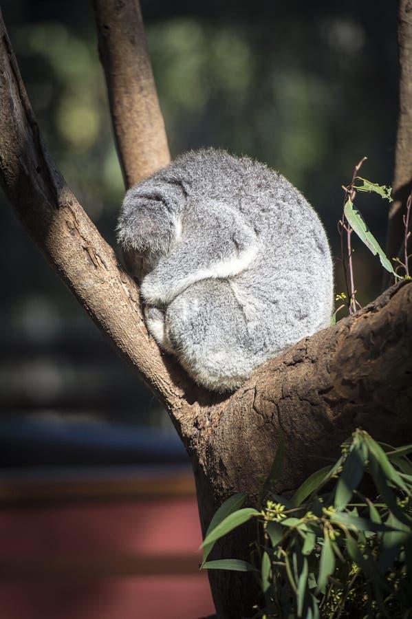 Koala Australia di sonno fotografia stock