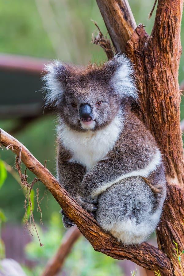 The koala stock images