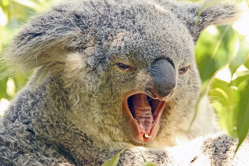 Koala. Australian bear with open mouth royalty free stock photography