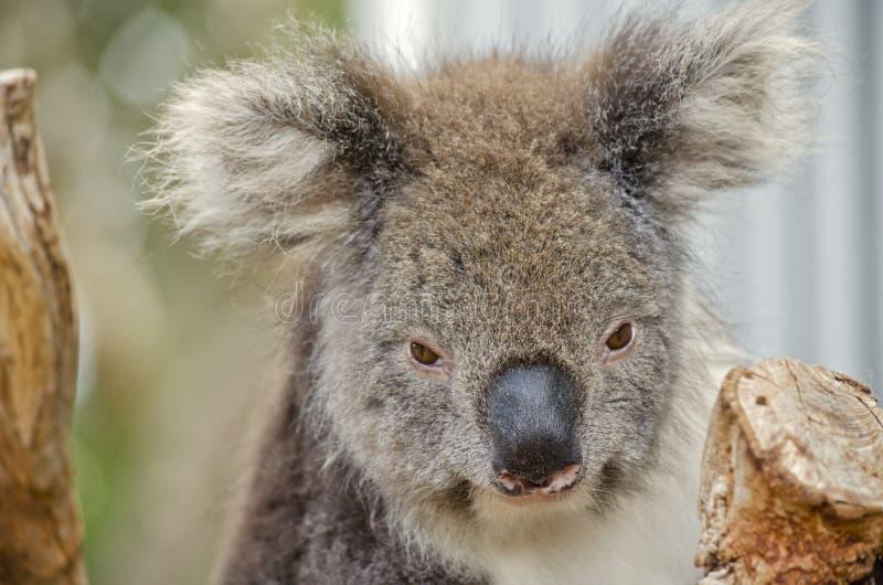 Koala australiano imagem de stock royalty free