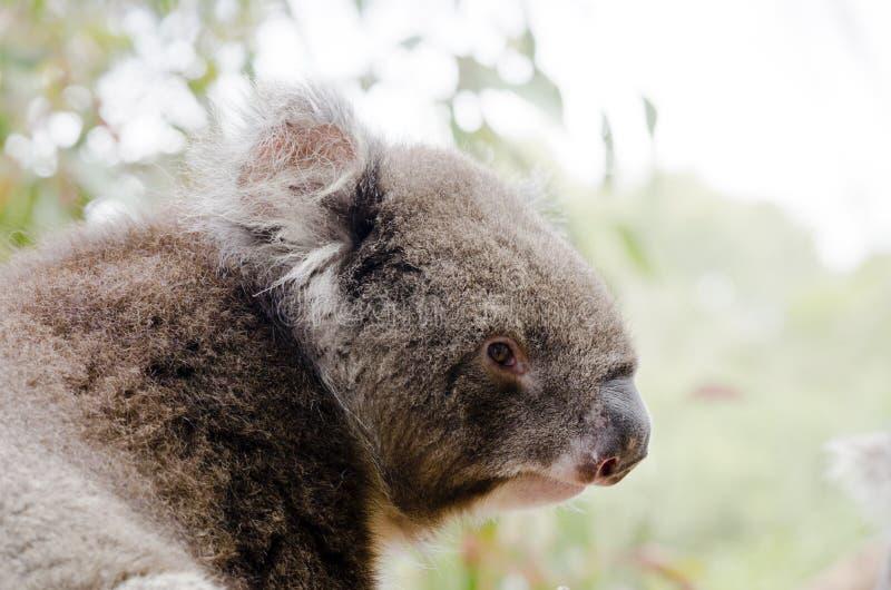 Koala australiano imagem de stock