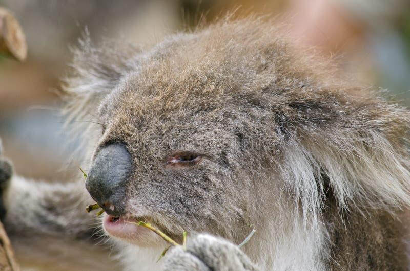 Koala australiano foto de stock royalty free