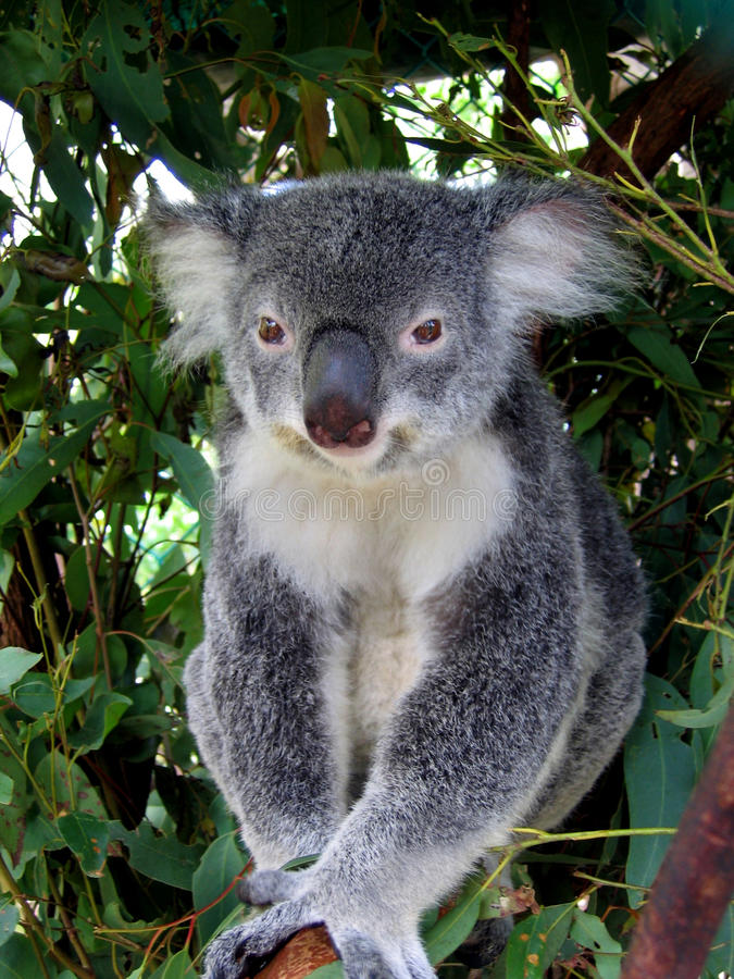 Koala in Australien stockfotografie