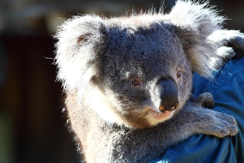 Koala in Australien stockfoto