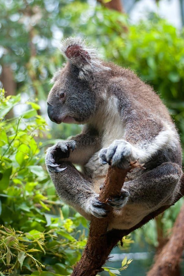 Koala australien photo stock