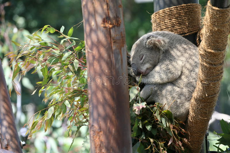 Koala Aux Etats-Unis Photo stock