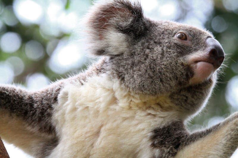 Koala-Bär stockfotografie