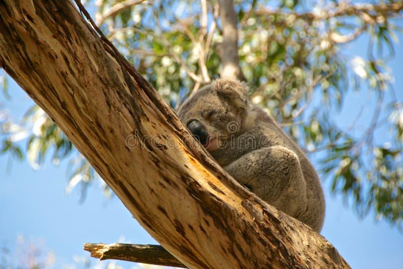Koala-Bär lizenzfreies stockfoto