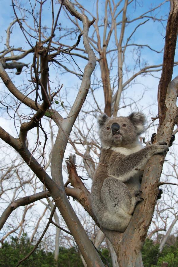 Koala-Bär lizenzfreie stockfotos