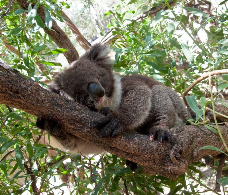 Koala-Bär im Baum lizenzfreies stockbild