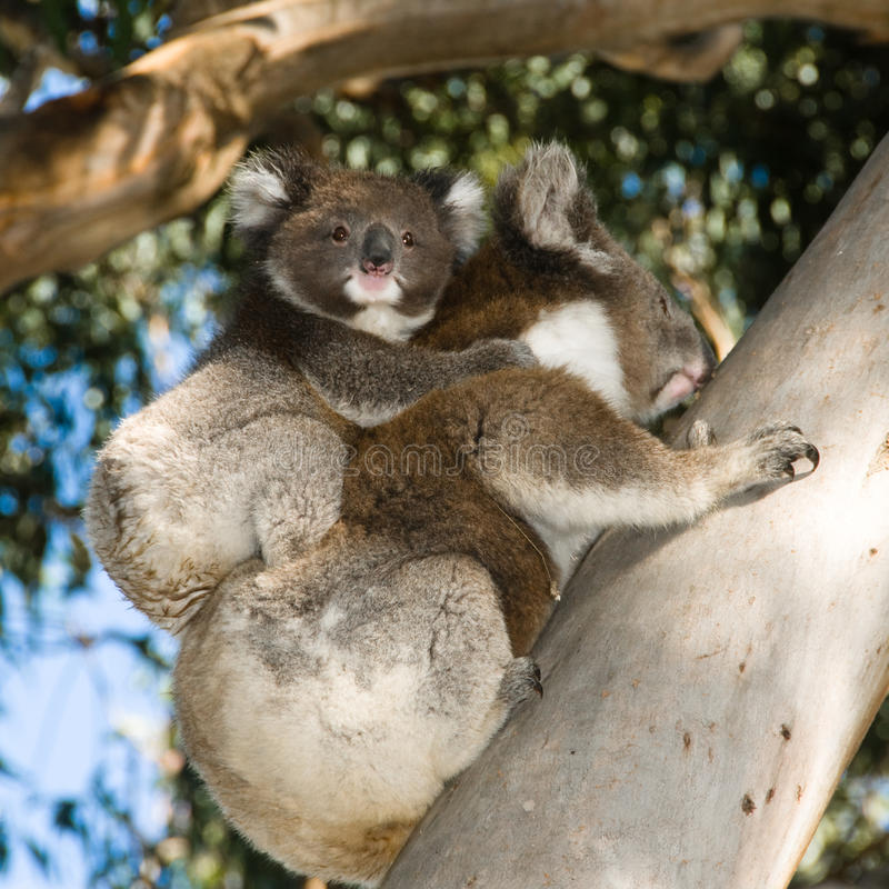 Koala-Bärenmutter mit steigendem Baum des Schätzchens stockbild