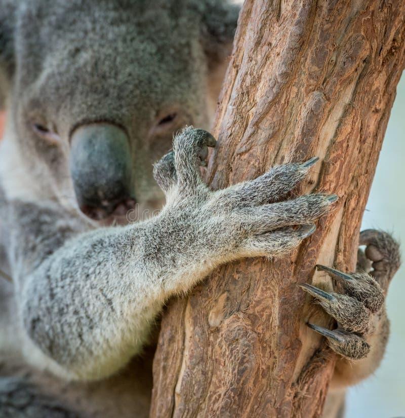 Koala-Bärentatze stockbilder