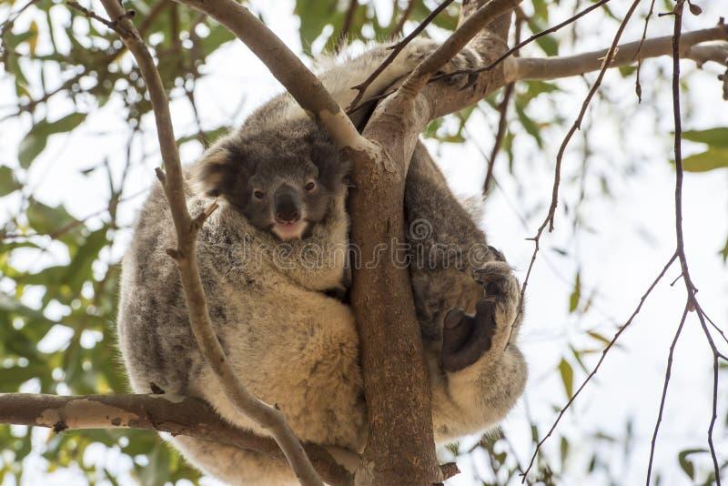 Koala baby royalty free stock photography
