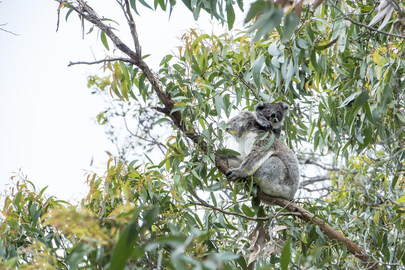 Koala with baby stock photo