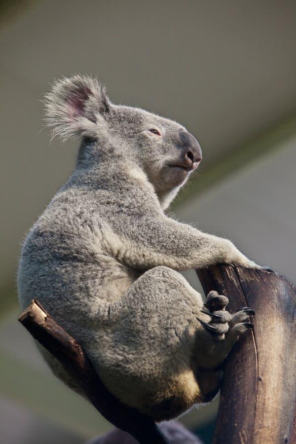 Free Koala Bear Royalty Free Stock Photos - 13452218