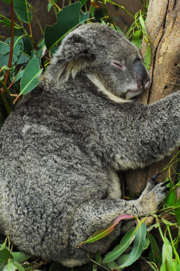 Koala Bear royalty free stock photo