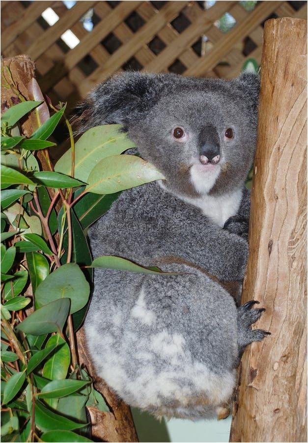 Koala Bear. Taken at Melbourne Zoo, Australia royalty free stock images