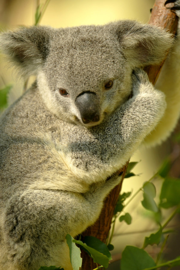 Free Koala Bear Stock Photo - 7200120