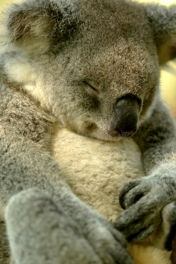 Free Koala Bear Royalty Free Stock Photo - 7200135