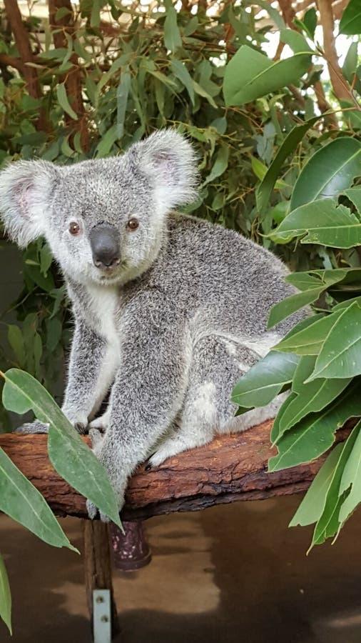 Koala bear Australia animal marsupial royalty free stock images