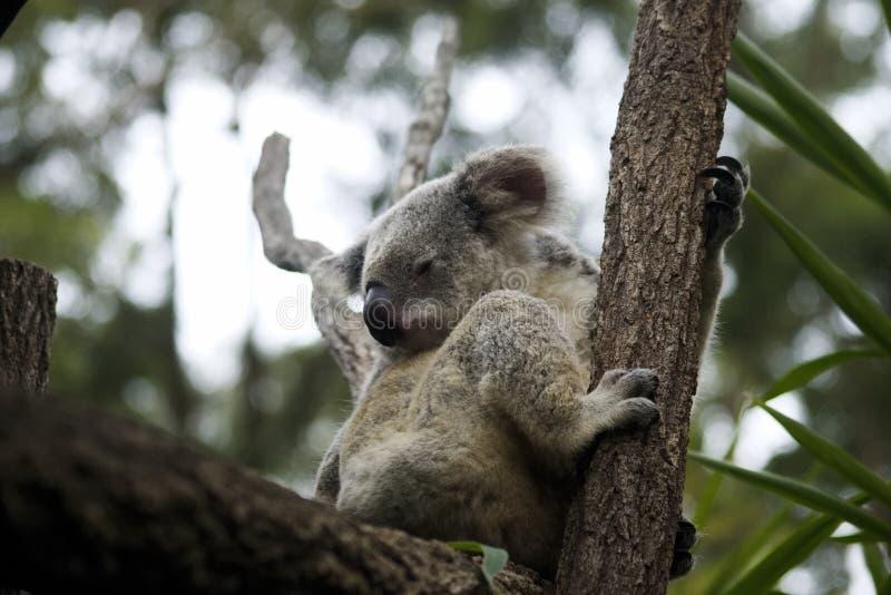 Koala Bear Australia sitting in the trees royalty free stock photos