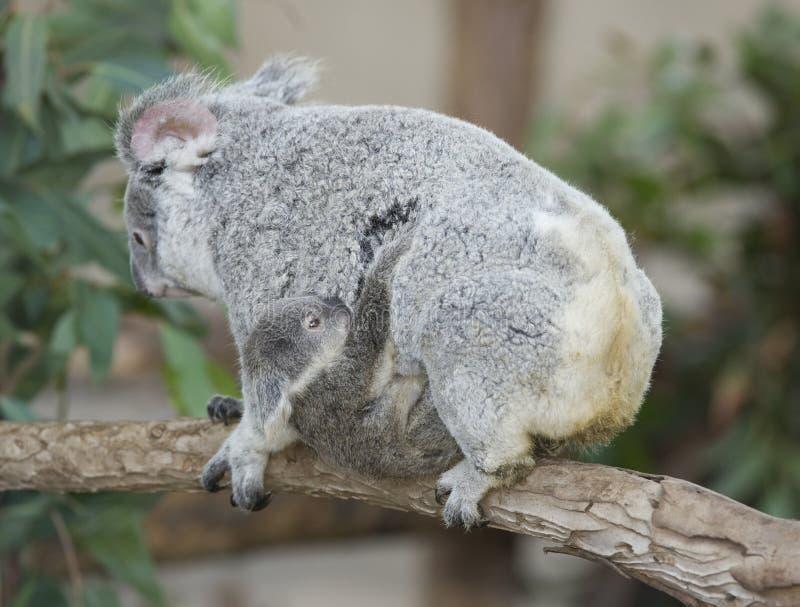 Download Koala Bear Australian Adult Female With Baby Stock Image - Image: 12930997