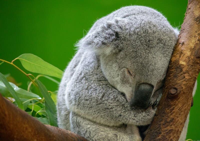 Koala Bear Sleeping. Sleeping Koala Bear Resting in a tree stock photography