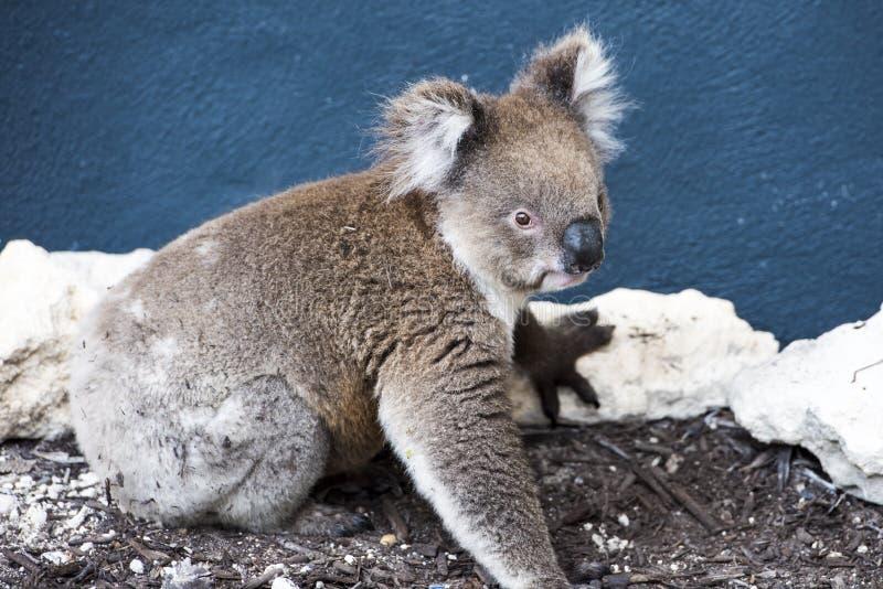 Koala, closeup of koala bear coming to a house, Australia stock photography