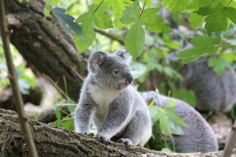 Koala Bear on Grey Wood Trunk on Daytime royalty free stock photo