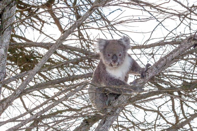Koala bear with happy face. Portrait of koala bear with happy face sitting on a tree stock photos