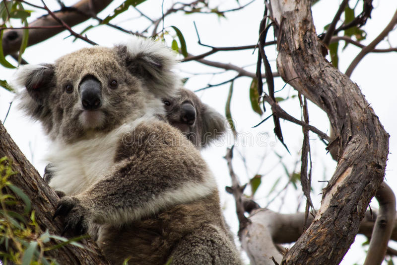 Koala Bear With Joey. Koala bear (latin Phascolarctos cinereus) sitting in a tree with a young joey on its back royalty free stock photography