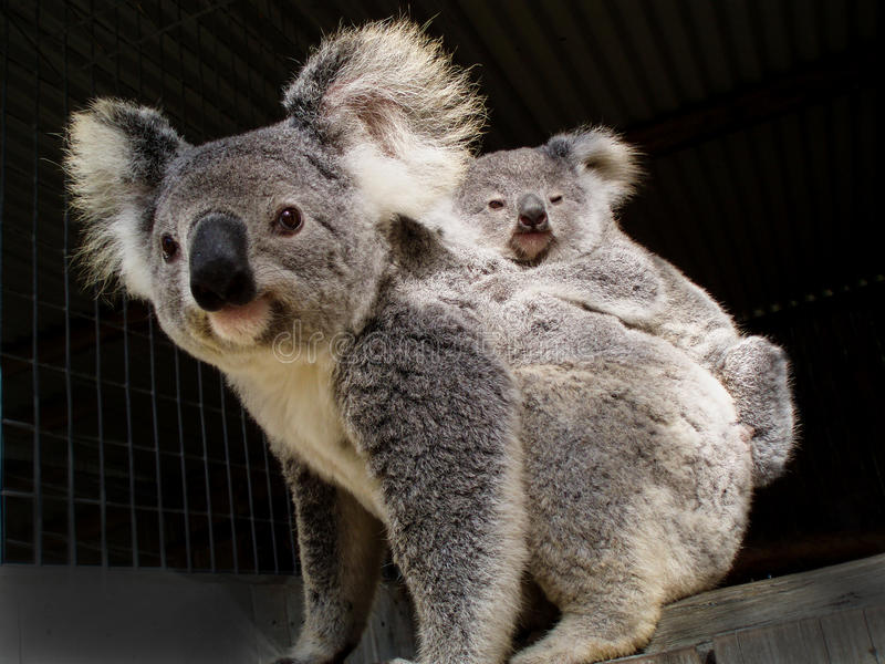 Koala bear and baby joey stock images