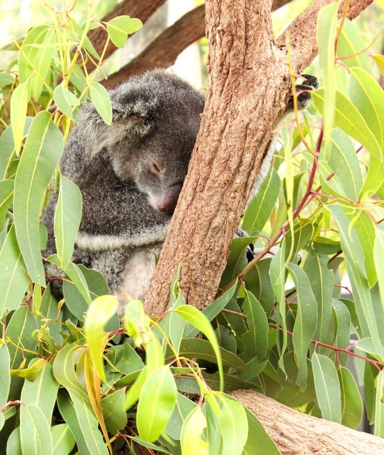 Koala bear sleeping royalty free stock image