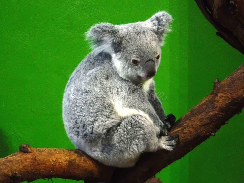 Koala Bear in Zoo. Grey Koala Bear sitting on branch in zoo exhibit royalty free stock photos
