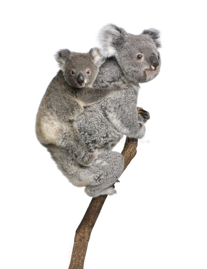 Koala bears climbing tree against white background royalty free stock images