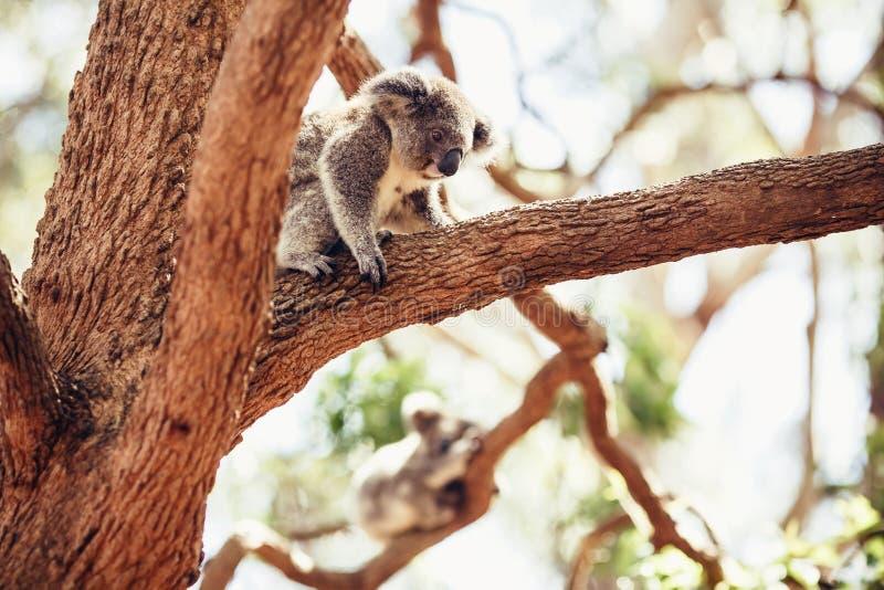 Koala betreffen einen Baum lizenzfreie stockfotografie