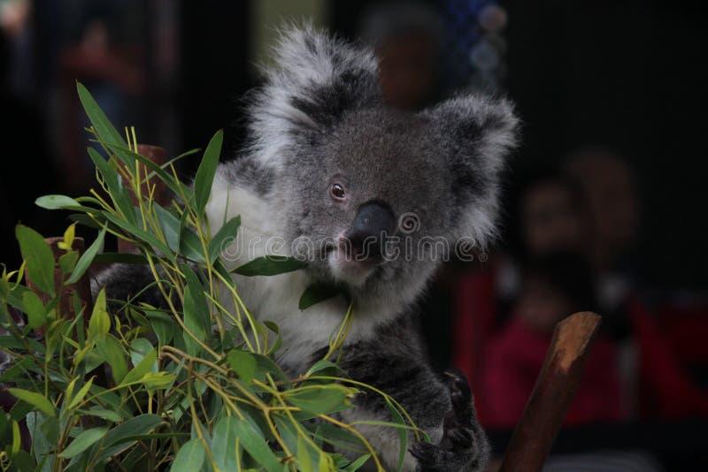 Koala betreffen einen Baum lizenzfreies stockfoto