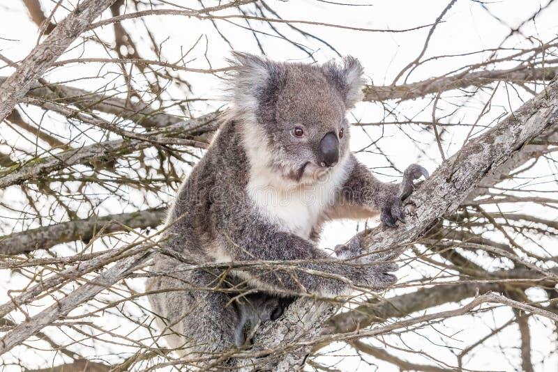 Koala betreffen einen Baum lizenzfreie stockfotos