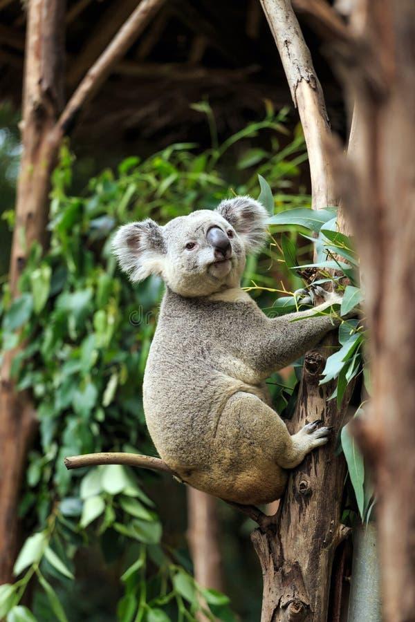 Koala bonito fotografia de stock