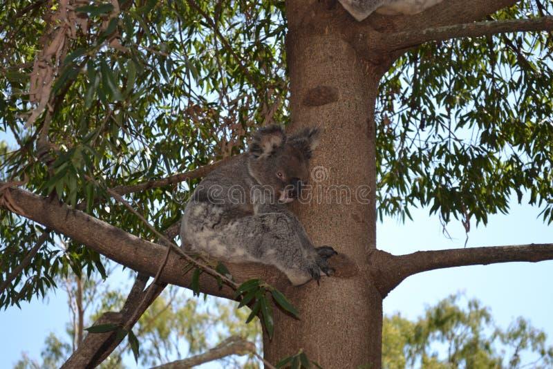 Koala in Boom stock afbeeldingen