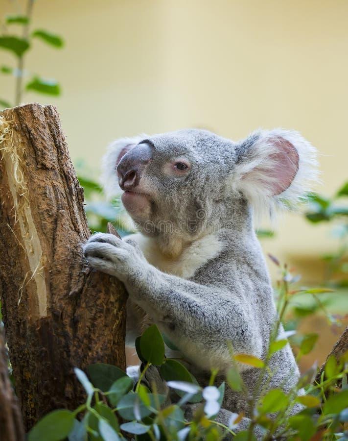 Koala in bos royalty-vrije stock foto