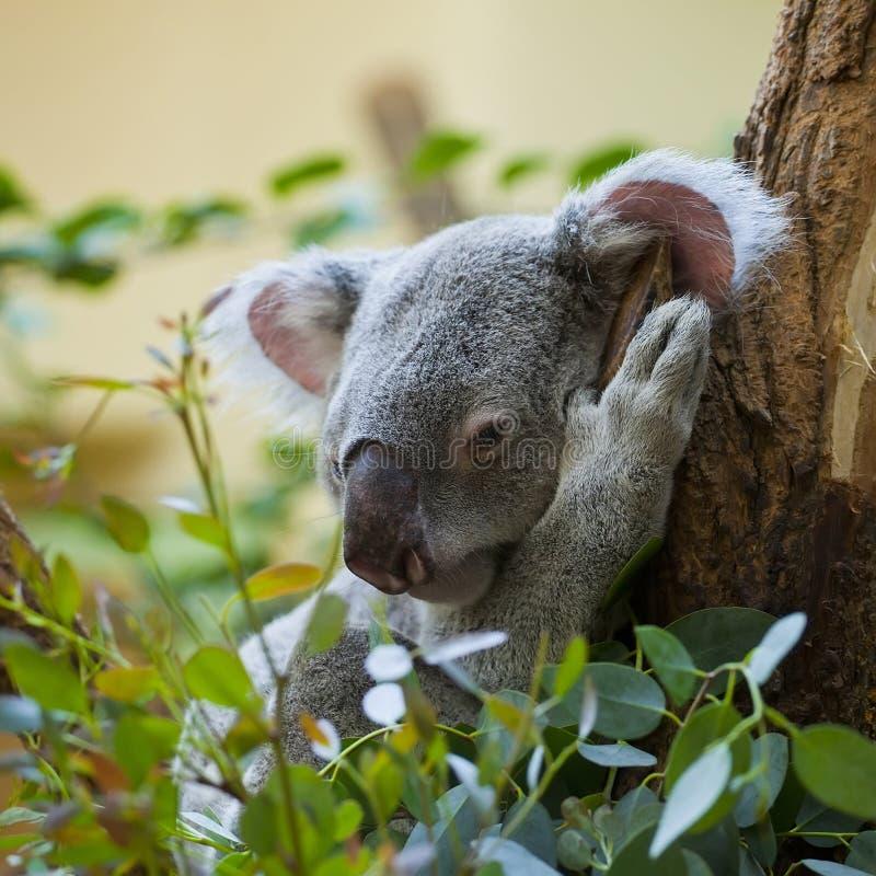 Koala in bos royalty-vrije stock foto's