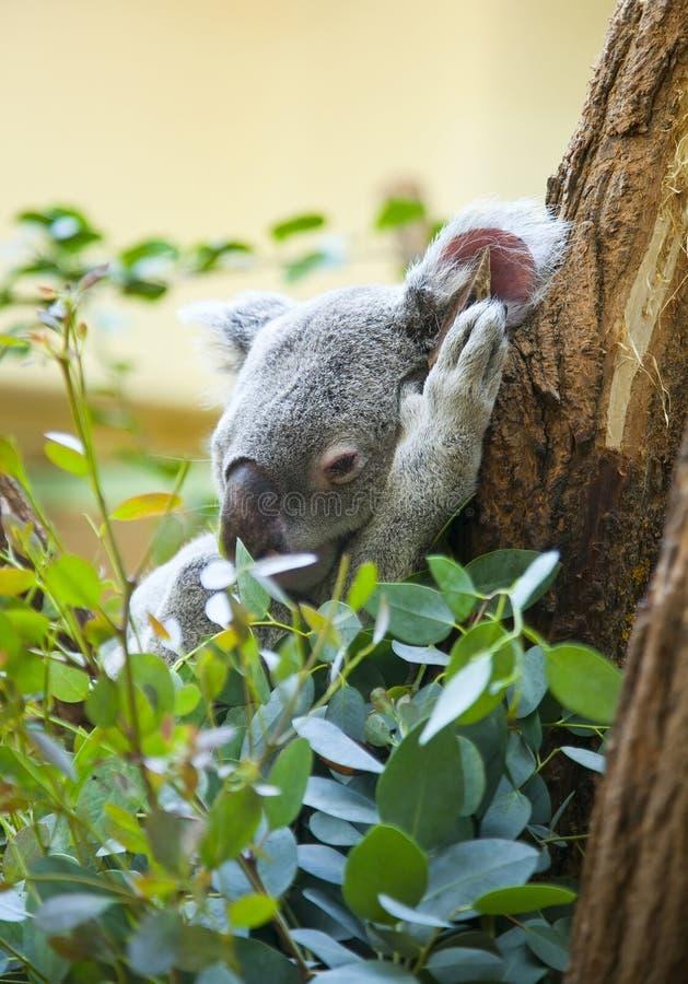 Koala in bos royalty-vrije stock afbeelding