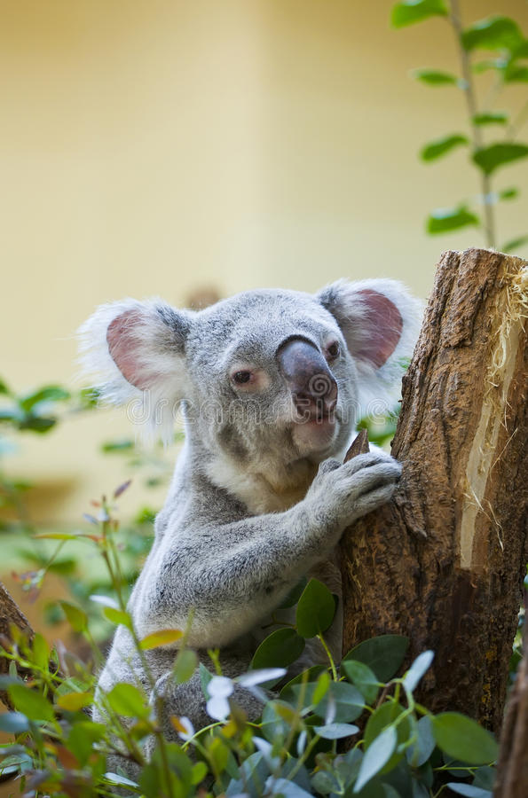 Koala in bos royalty-vrije stock afbeeldingen