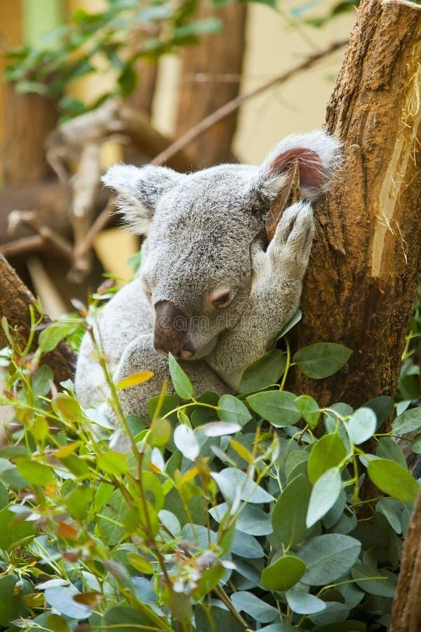 Koala in bos royalty-vrije stock fotografie