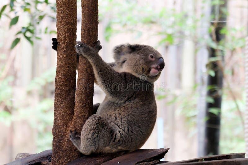 Koala in bosdierentuin stock fotografie