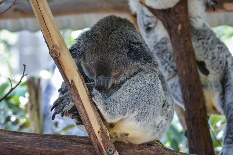 Koala in Brisbane, Queensland, Australien lizenzfreies stockfoto