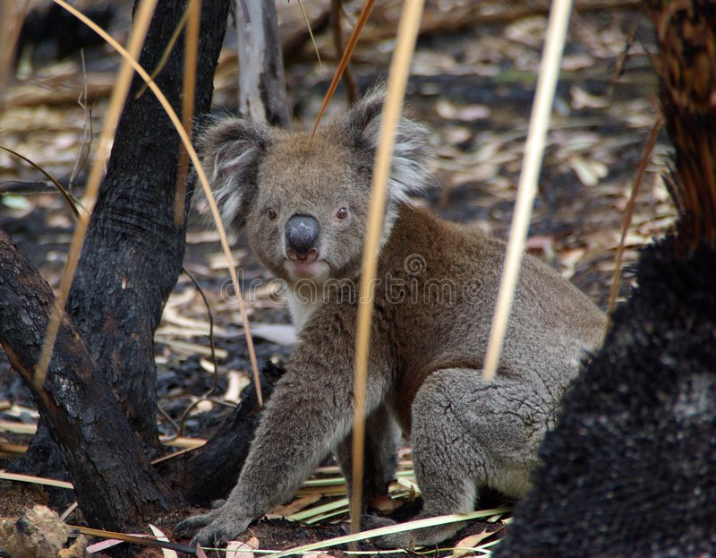 Koala In Burnt Undergrowth Stock Photo
