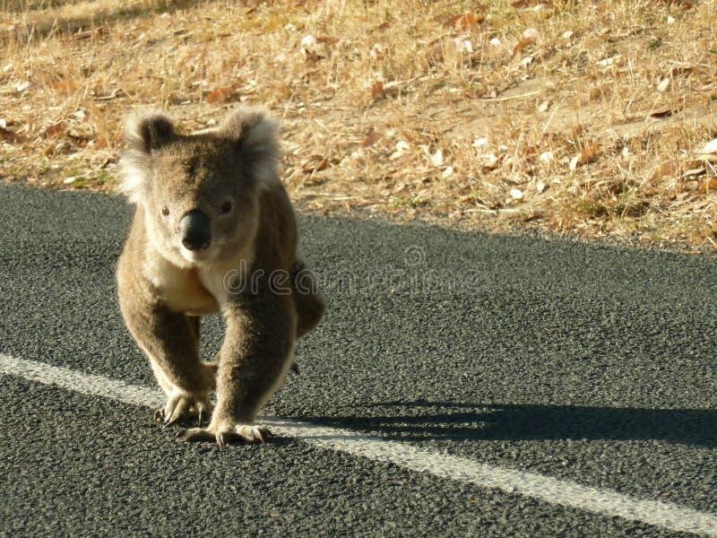 Koala che cammina sulla strada fotografia stock